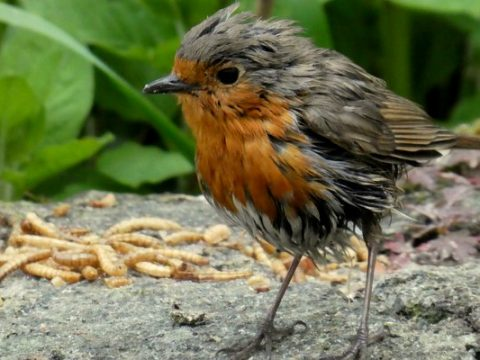 Robin with meal worms on the wall at Wheatland Farm's Devon eco lodges